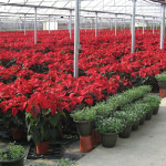Just in time for the holidays: poinsettias in designer colors