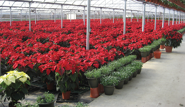 Poinsettias are no longer found only in a deep shade of red (Courtesy of Armstrong Garden Centers)