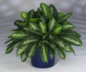 Aglaonema Key Largo makes an excellent houseplant.
