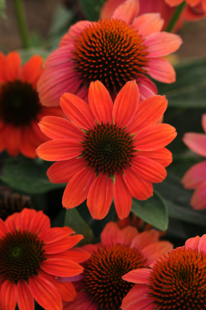 Coneflower (Courtesy of Armstrong Garden Centers)