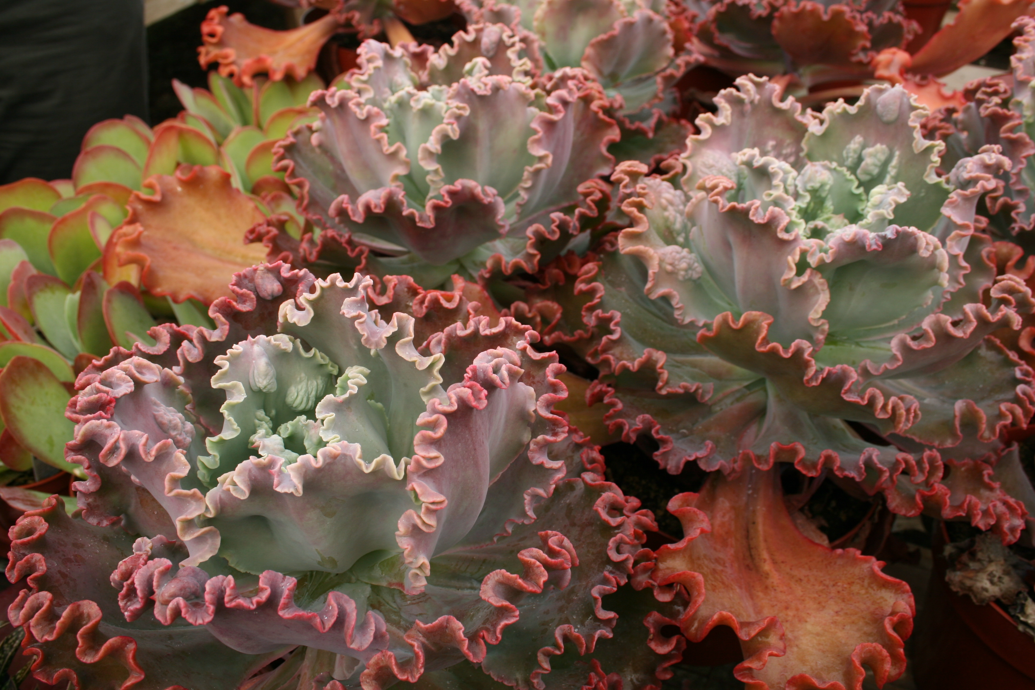 Make an impact in your garden with succulents - Mission Valley News ...