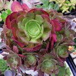 Make an impact in your garden with succulents