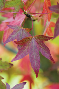 autumnal liquidambar or sweet gum tree leaves