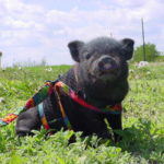 Potbellied pigs as pets