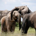 Halting the ivory trade protects elephants